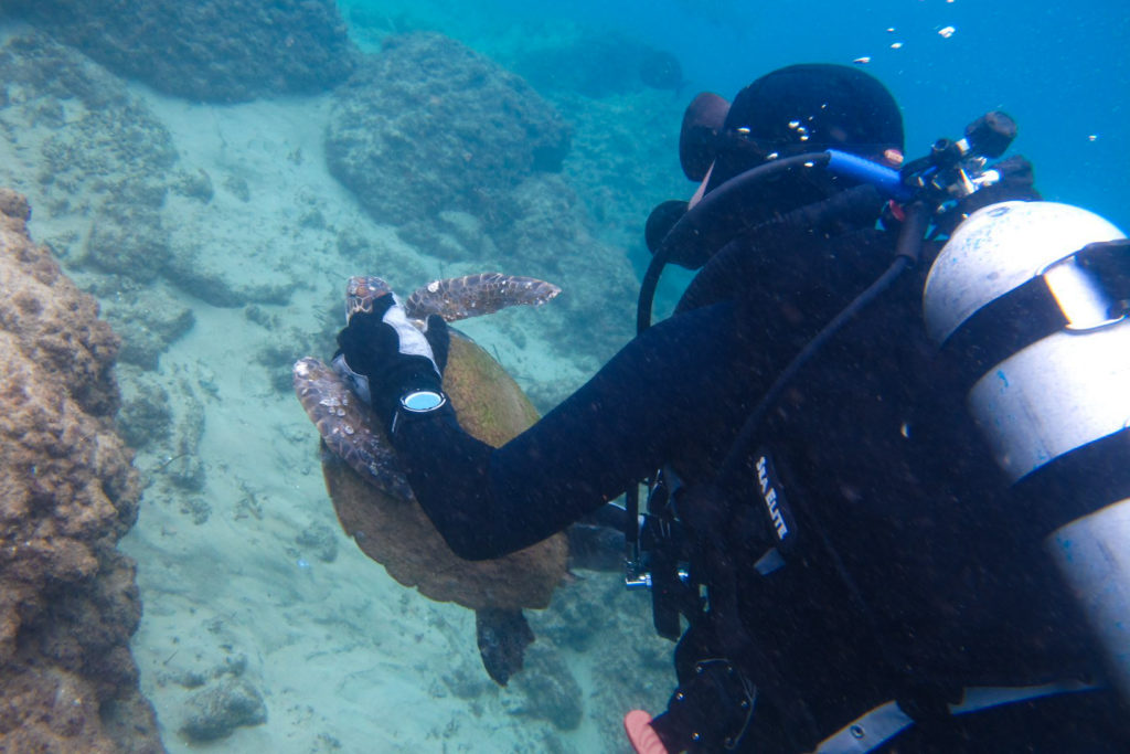 A diver holding a sea turtle by the shell swims to shore.